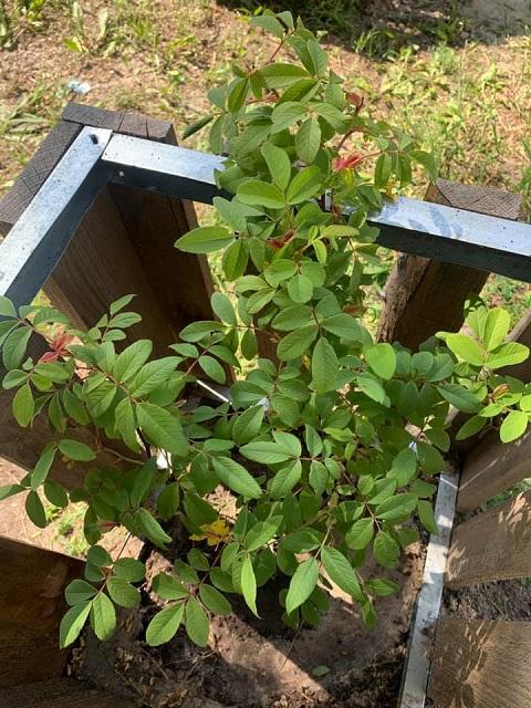 В «Парке счастья» г. Каменское высадили розы Днепродзержинск
