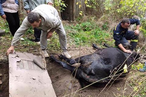 Спасатели г. Каменское помогли вытащить из ямы корову Днепродзержинск