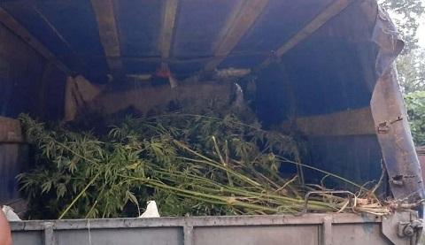 В Каменском во время обыска изъяли кусты конопли  Днепродзержинск