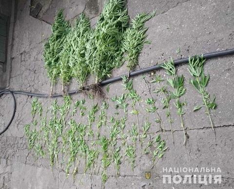 Правоохранители у мужчины в Каменском обнаружили плантацию конопли  Днепродзержинск