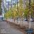 По проспекту Свободы в Каменском высадили аллею молодых деревьев